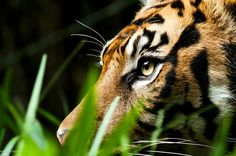A Male Sumatran Tiger. (Photo By: Daneille Kiemel. Nature Animals, Animals And Pets, Cute Animals, Wild Animals, Beautiful Cats, Animals Beautiful, Beautiful Beach, Big Cats, Cats And Kittens