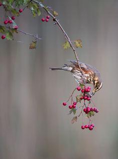 Bird picture: Turdus iliacus / Koperwiek / Redwing