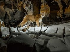See a cougar on a night prowlin Yellowstone National Park in this National Geographic Photo of the Day.