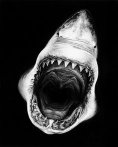 """Robert Longo is an amazing artist focusing on hyperrealism at massive scale. Longo released a series of charcoal drawings centered around none other than the Great White Shark, titled """"Perfect Gods"""". Hai Tattoos, Wale, Tier Fotos, Shark Week, Ocean Life, Marine Life, Belle Photo, Beautiful Creatures, White Photography"""