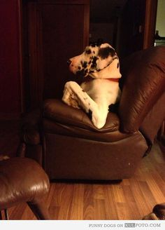 Funny Great Dane dog sitting in a leather chair like a distinguished gentleman.