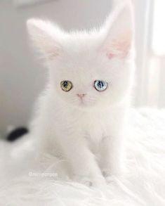 ⋀♕⋀ 真っ白フワフワわたあめの毛並みに(₌◕⋏◕₌) 宝石のようなオッドアイのパムパムちゃん。