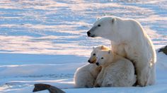 Chinese main buyers of polar bear fur, but trade no threat to animals