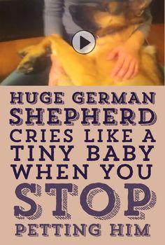 Huge German Shepherd Cries Like A Tiny Baby When Stop Petting Him!