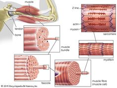 Anatomy and Physiology of Muscular System Skeletal muscles are associated with movements of the body. Skeletal Muscle Anatomy, Nervous System Anatomy, Muscle Diagram, Types Of Muscles, Muscle Structure, Muscle Function, Bicep Muscle, Muscle Definition, Cell Model