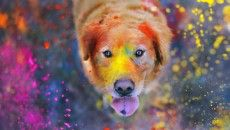 cute dog celebrating holi