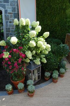 Late August wedding - containers are filled with Crape Myrtle, Tardiva Hydrangea and Lavender cotton.  Cording Landscape Design, NJ.  #wedding #flowers #containergarden
