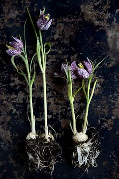Clemmensen and Brok - will be looking to add these to my spring garden at BonaTerra!