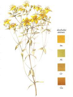 Natural dyeing: St. John's Wort - Hypericum perforatum