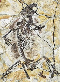 Fossil of Shenshou lui--Species New to Science: [PaleoMammalogy • 2014] Three New Jurassic euharamiyidan species Reinforce early Divergence of Mammals
