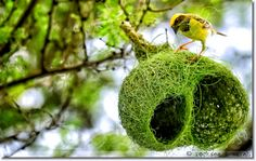 nature.rocksea.org baya weaver bird