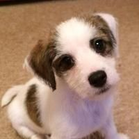 Mikey the Jack Russell cross Lhasa Apso has been signed up to BorrowMyDoggy! He's still a litte puppy at the moment who's about to start his puppy classes! He loves cuddling and playing - how absowoofly adorable!