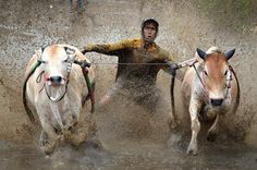 Mud cow racing: A Pacu Jawi jockey rides a pair of cows along a muddy track. IMAGE (Rex Features: ZUMApress.com)