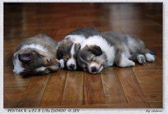 sheltie puppy 1 months old