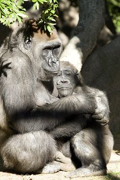 Gorilla` - Explore the World with Travel Nerd Nici, one Country at a Time. http://TravelNerdNici.com