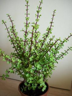 Portulacaria afra (Elephant Bush, Dwarf Jade, Small Leaf Jade, Porkbush) → Plant characteristics and more photos at: www. Crassula Succulent, Succulent Gardening, Cacti And Succulents, Planting Succulents, Container Gardening, Planting Flowers, Jade Succulent, Organic Gardening, Elephant Plant