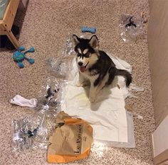10 Things Only a Siberian Husky Owner Would Understand | WOOFipedia by The American Kennel Club