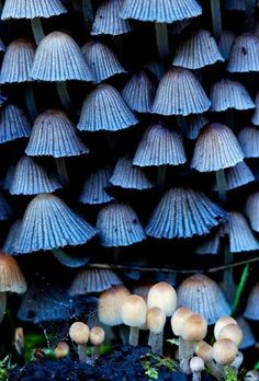 Fabulous Fungi ~ Blue and White Mushrooms