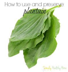 Plantain is a wonderful herb to keep around the house for treating bug bites, burns, cuts and skin infections.