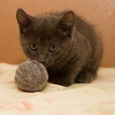 Petfinder Adoptable Cat | Domestic Short Hair-Gray | Neenah, WI | Smokey