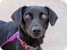Pasadena, CA - Dachshund Mix. Meet FIONA, a dog for adoption. http://www.adoptapet.com/pet/11899200-pasadena-california-dachshund-mix