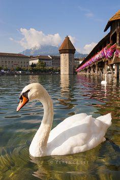 Swan's view of Flower Lined Chapel Bridge & Water Tower ~ Lucerne, Switzerland