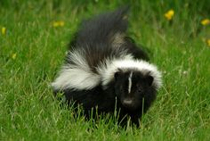 Skunk  It's a like a cross between a cat and a dog with some really awesome colouring. Badass! Plus its super easy to get its spray glands removed, so don't worry about house smelling like....well, a skunk.  -10 Wild Canadian Animals That Would Make Surprisingly Good Pets | Live Out There Blog