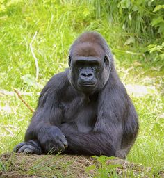 The silverback gorilla at Durrell Conservation Trust, Jersey, Channel Islands