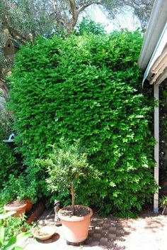 Unless you're gardening in Antarctica or the Atacama, there are usually a few plants which thrive marvellously well in your district, and y. Murraya Paniculata, Hedges, Garden Plants, Deco, Easy, Image, Gardens, Decoration, Deko