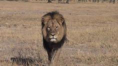 Autoridades do Zimbábue procuram estrangeiro que matou leão símbolo do país