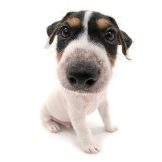 Artlist Collection THE DOG Jack Russell Terrier — A dog's tail never lies