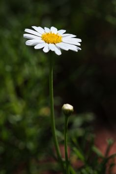 https://flic.kr/p/9xYAXE   Daisy   Royal Botanical Gardens, Sydney
