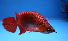 AROWANA-SUPER-RED. ...........click here to find out more http://kok.googydog.com