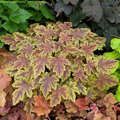New Shade-Loving Perennial Varieties for 2013