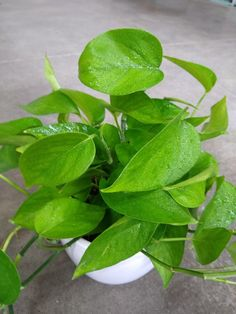 Air Cleaning Plants, Air Plants, Easy Care Plants, Plant Care, Golden Pothos Plant, Low Light Plants, Plant Diseases, Poisonous Plants, Peace Lily