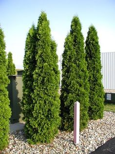 Thuja occidentalis 'Smaragd' Emerald Green Arborvitae - Along back south fence. Stones underneath. Stays narrow - 4' wide, 10-15' tall, part shade.