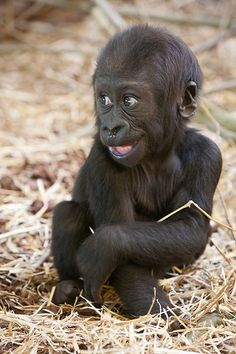 Baby gorilla 'Shambe' at Artis Zoo, Amsterdam, The Netherlands