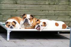 Bulldogs resting outside