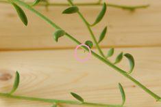 茎が伸び見た目が悪くなったアーモンドネックレスの調節 | ウチデグリーン | UCHI de GREEN Parsley, Succulents, Herbs, Green, Succulent Plants, Herb, Spice