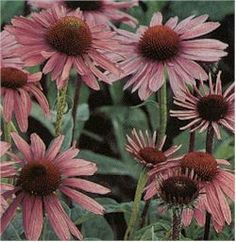 Echinacea (coneflower) - perennial herb that's also a gorgeous flower. Will self-sow. Grows 3-4' high and requires rich soil and full sun.
