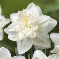 Narcissus Front Page