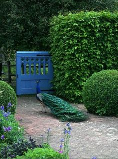 The blue gate, the shrubs and yes, even the peacock! (Wyken Hall's garden in Suffolk)