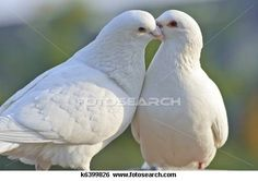 Stock Images of two loving white doves - Search Stock Photography, Poster Photos, Pictures, and Photo Clip Art - Dove Pictures, Rabbit Pictures, All Birds, Love Birds, Pretty Birds, Beautiful Birds, Nature Animals, Baby Animals, Delphine