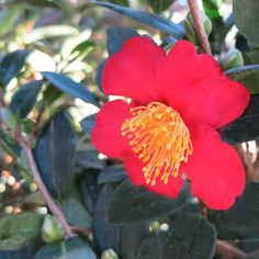 It starts to feel like Fall when I see our Yuletide Camellia begin to bloom! (Zone: 7-10) TIP: Excellent foundation shrub. Glossy dark green foliage creates a handsome natural hedge. Plant around the house to cover foundations and to fill window-free walls. Use along fence lines and add vivid color to outdoor living spaces, porches and patios.