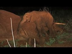 Orphaned Elephant Calf Refuses To Leave Mother's Side - YouTube