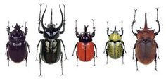 ALL ABOUT BEETLES Website: Types of Beetles Article with Pictures