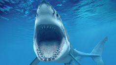grand requin blanc Wallpaper