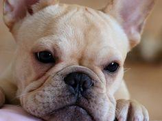 French Bulldog Puppies | French Bulldog Puppies Wallpapers & Pics | Fun Animals Wiki, Videos ...