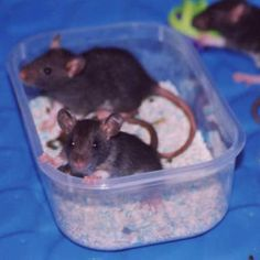 Litterbox Train Your Rat