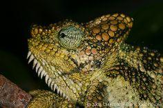 Trioceros hoehnelii (High-casqued Chameleon)